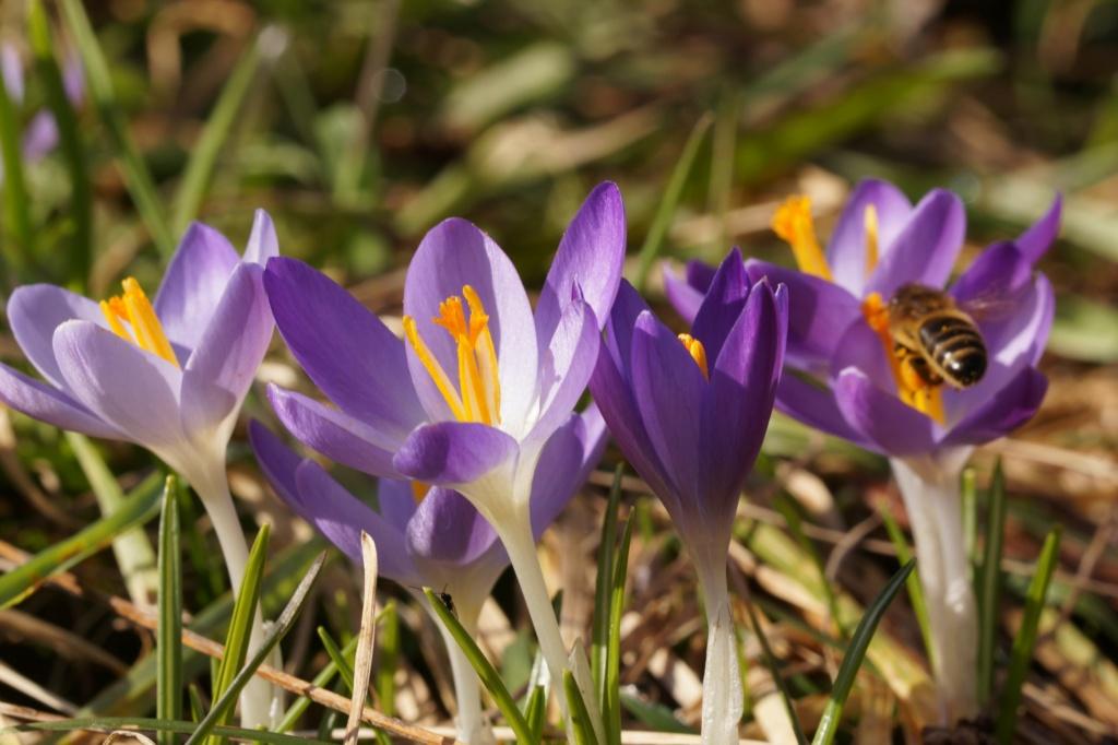 Erste Frühlingsboten im Garten und in Wald und Flur, Teil 2 - Seite 3 Dsc06411
