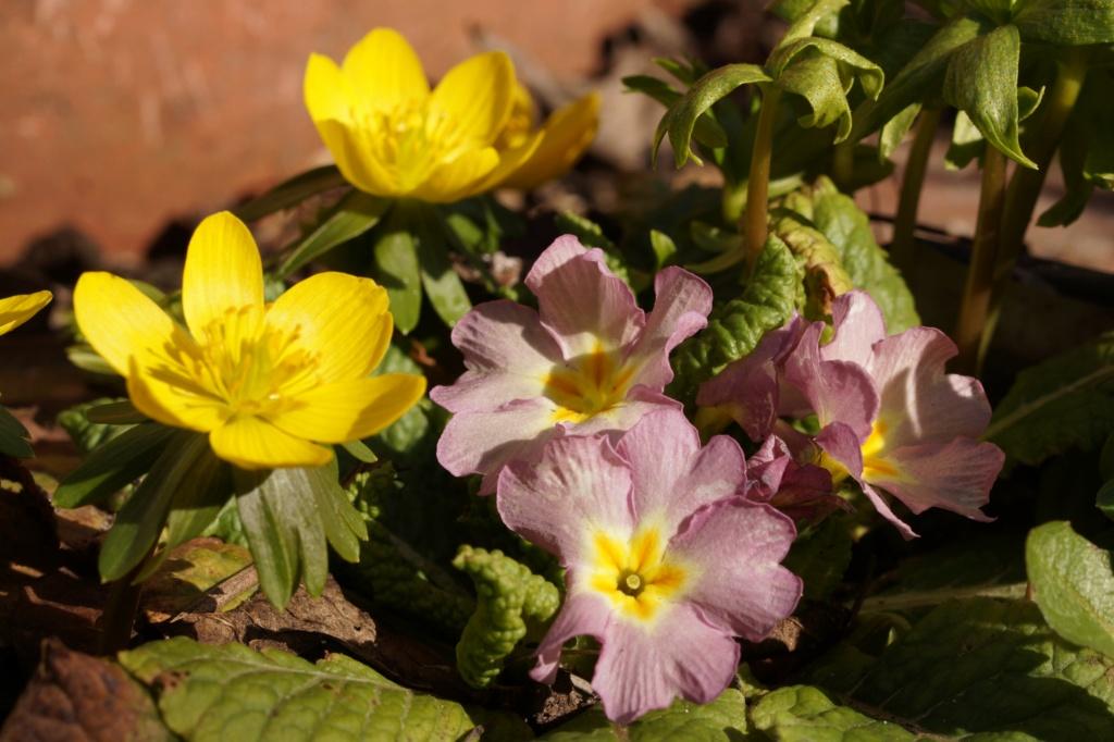 Erste Frühlingsboten im Garten und in Wald und Flur, Teil 2 - Seite 3 Dsc06510