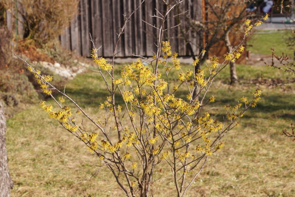 Erste Frühlingsboten im Garten und in Wald und Flur, Teil 2 - Seite 3 Dsc06512
