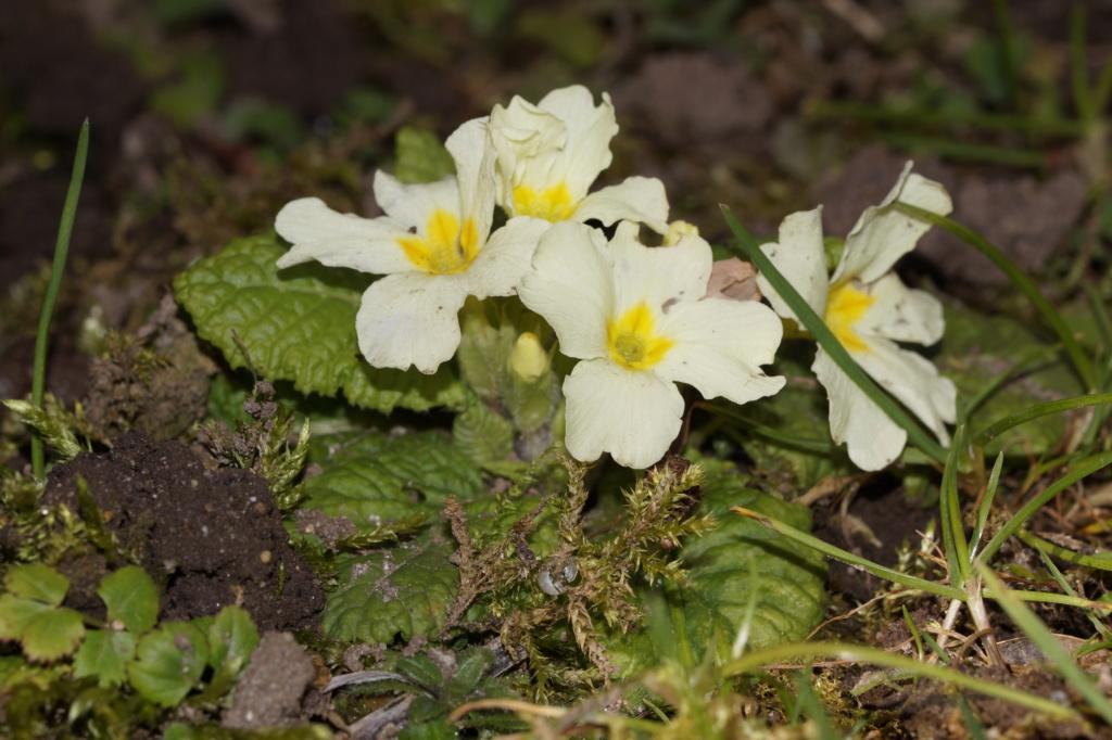 Erste Frühlingsboten im Garten und in Wald und Flur, Teil 2 - Seite 3 Dsc06514