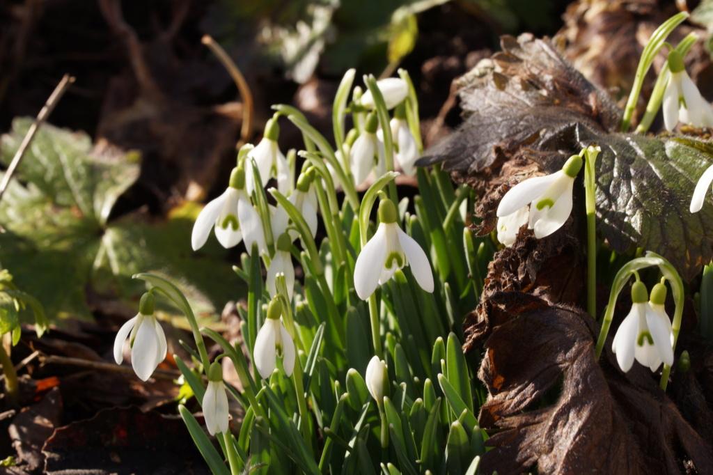 Erste Frühlingsboten im Garten und in Wald und Flur, Teil 2 - Seite 3 Dsc06515