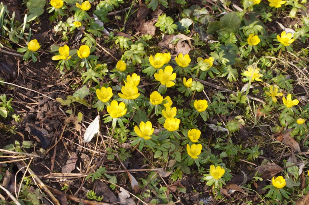 Erste Frühlingsboten im Garten und in Wald und Flur, Teil 2 - Seite 3 Dsc06516
