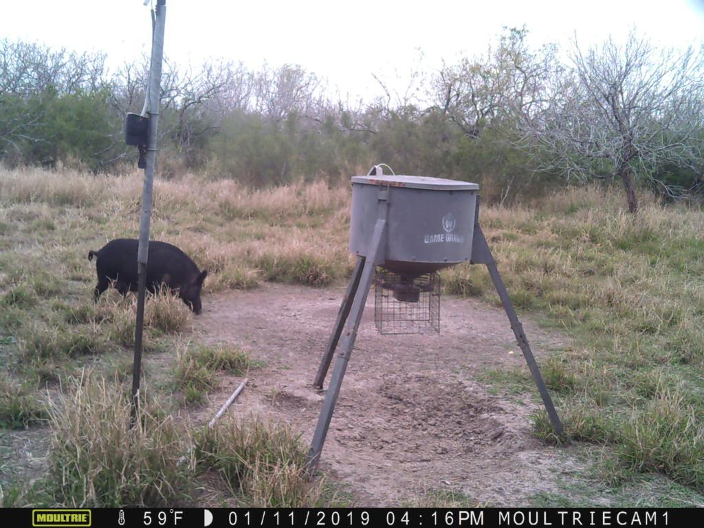 Shot A Boar Hog Yesterday Big_pi12