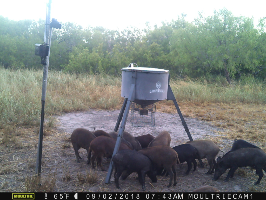 Hogs At New Feeder Pigs_a15
