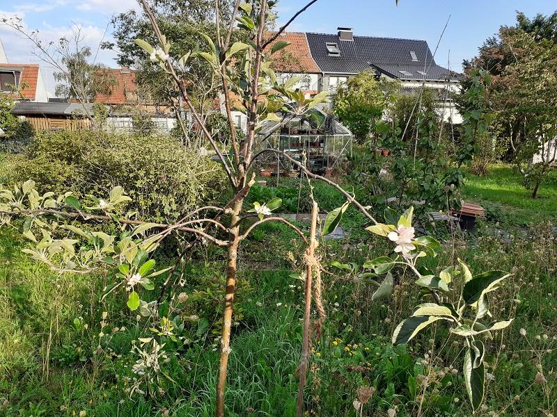 Was für Obstsorten habt Ihr denn im Garten? Aussaat, Spalier, Beerensträucher, Erfahrung und Hilfe :) - Seite 17 20200911