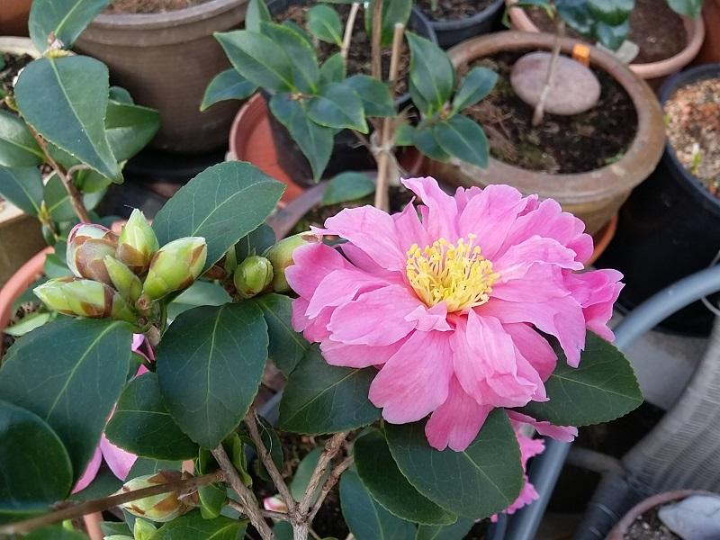 Camellia - Kamelien - Seite 7 C_hybr10