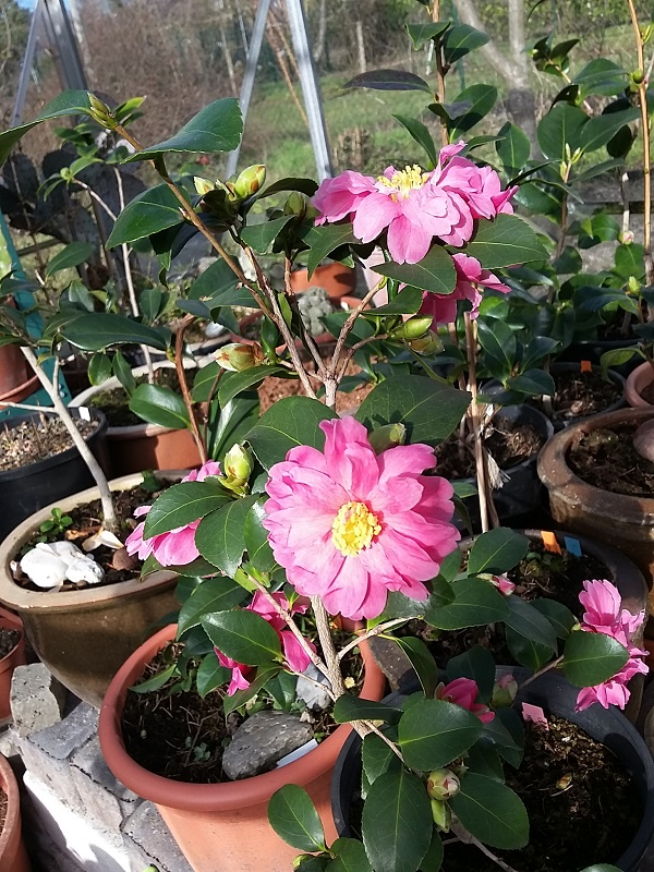 Camellia - Kamelien - Seite 7 C_hybr11