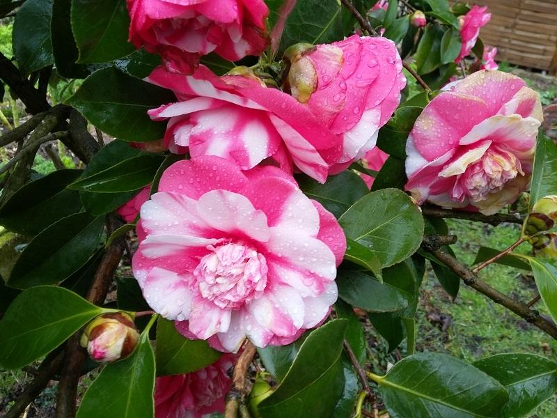 Camellia - Kamelien - Seite 6 C_jap_10