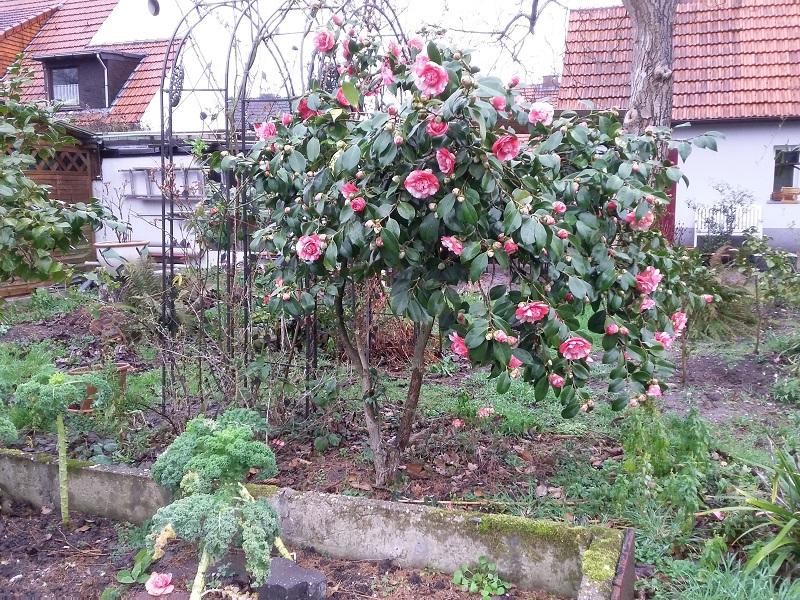 Camellia - Kamelien - Seite 6 C_jap_12