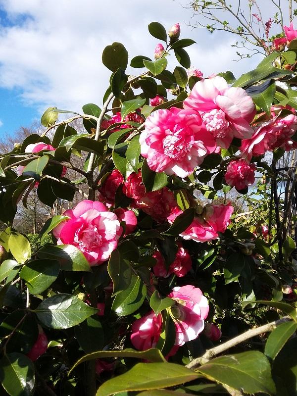Camellia - Kamelien - Seite 6 C_jap_14