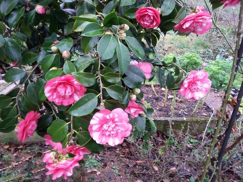 Camellia - Kamelien - Seite 6 C_jap_15