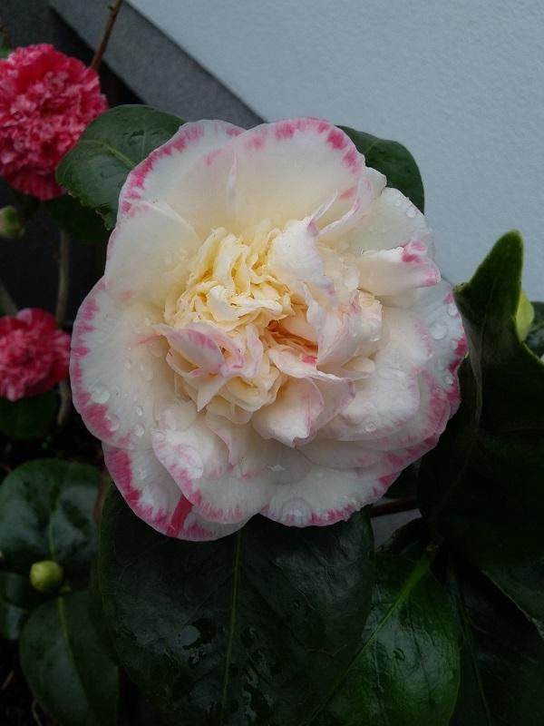 Camellia - Kamelien - Seite 7 C_jap_16