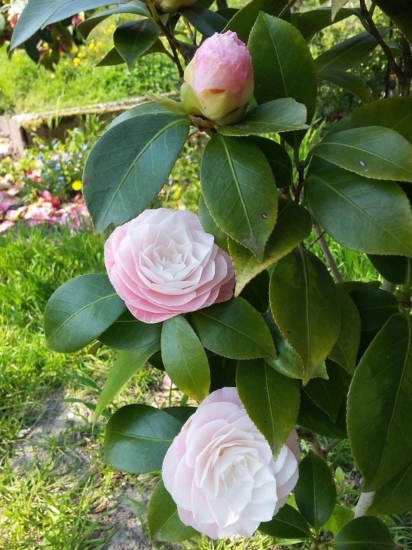Camellia - Kamelien - Seite 7 C_jap_17