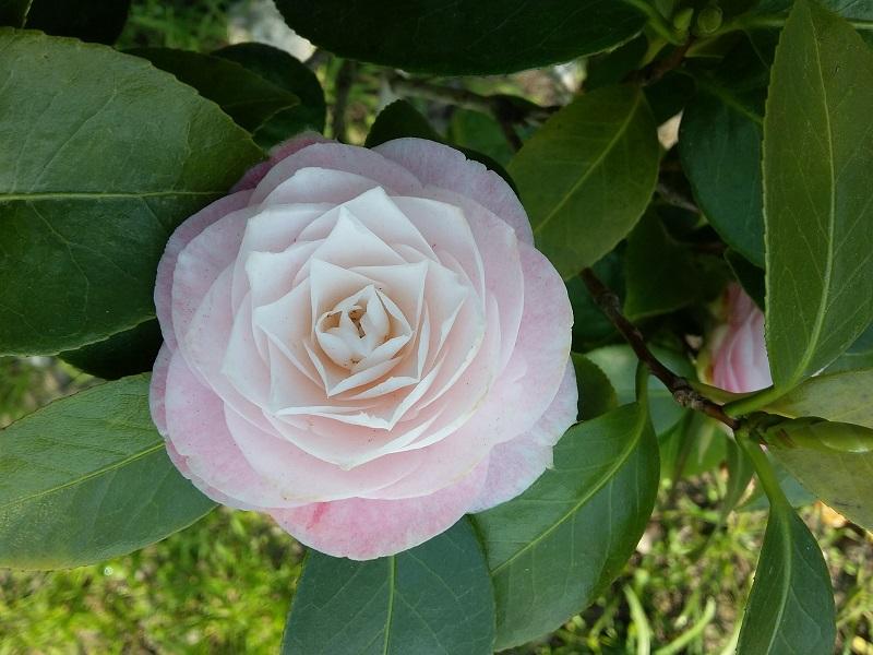 Camellia - Kamelien - Seite 7 C_jap_18