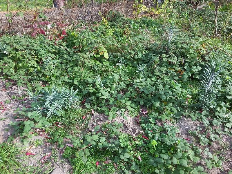 Kreuzblättrige Wolfsmilch ( Euphorbia lathyris ) Euphor10