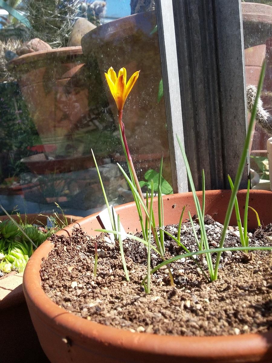 Amaryllisgewächse - Amaryllidaceae (Hippeastren, Nerine, Amaryllis, Agapanthus und auch Allium & Narzissen) - Seite 60 Habrat10