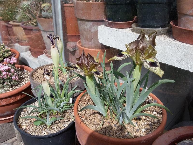 Schwertliliengewächse: Iris, Tigrida, Ixia, Sparaxis, Crocus, Freesia, Montbretie u.v.m. - Seite 26 Iris_o10