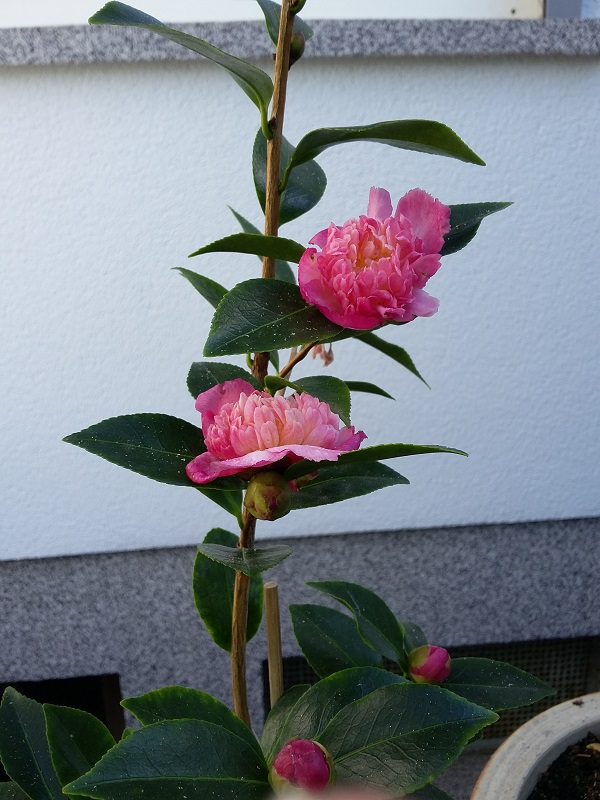 Camellia - Kamelien - Seite 6 Sasanq10