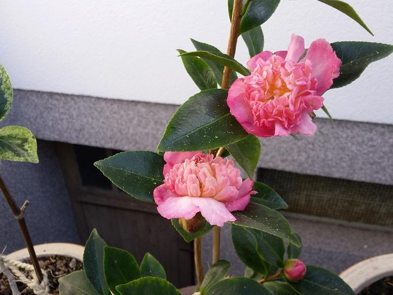Camellia - Kamelien - Seite 6 Sasanq11
