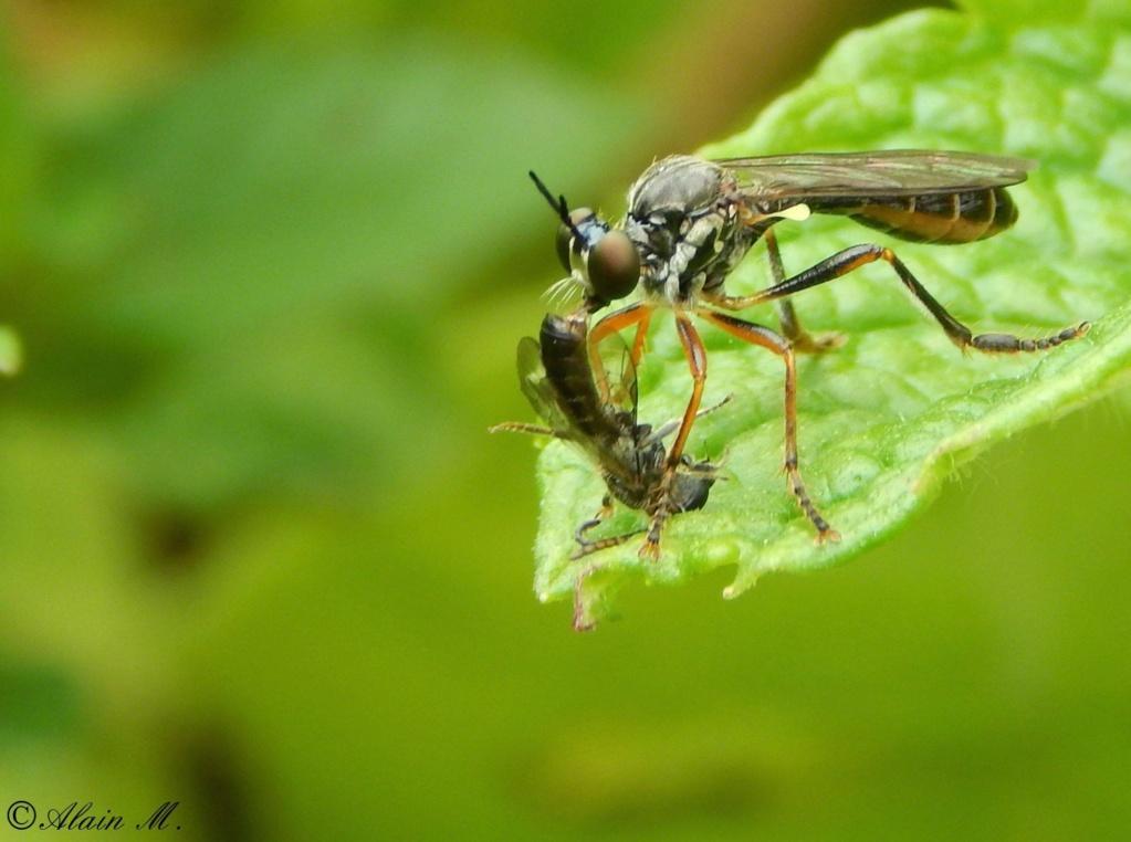 [Dioctria hyalipennis] Dioctria ? 99efe110