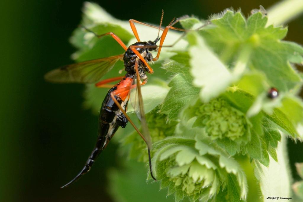 [Tanyptera atrata] Insecte noire et rouge  _dsc1811