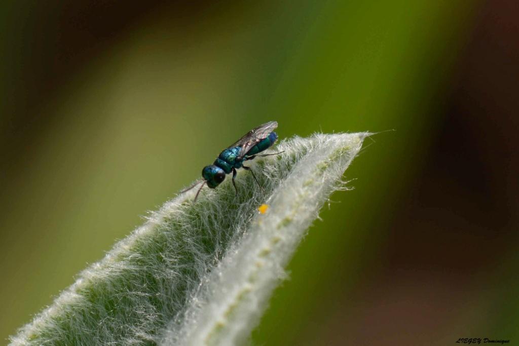 [Chrysididae] insecte bleu  A10