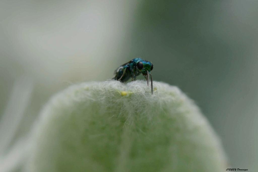 [Chrysididae] insecte bleu  A110
