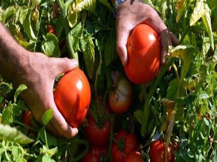 """""""الزراعة"""" تكشف حقيقة إصابة الطماطم بمرض مسرطن Ngnm_c10"""