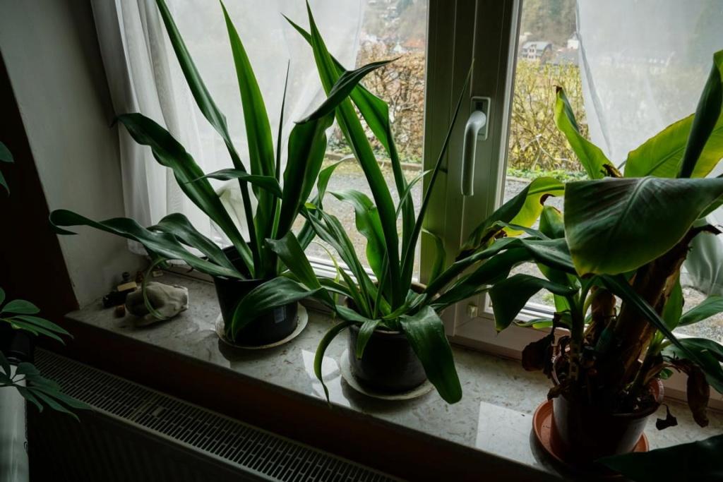 Unbekannte Palmenart über den Winter bringen -> keine Palmen, sondern andere Einkeimblättrige - Seite 2 K1024_13