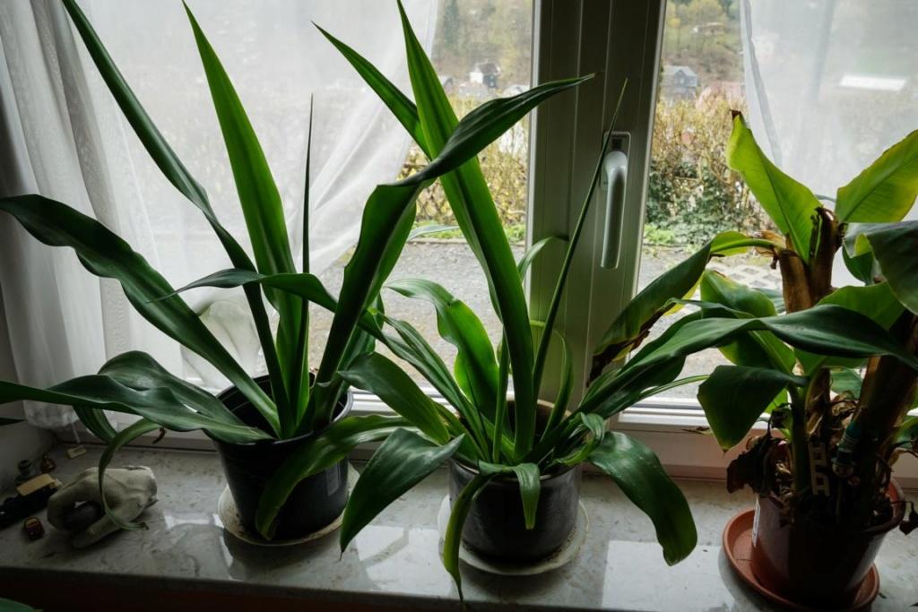 Unbekannte Palmenart über den Winter bringen -> keine Palmen, sondern andere Einkeimblättrige - Seite 2 K1024_14