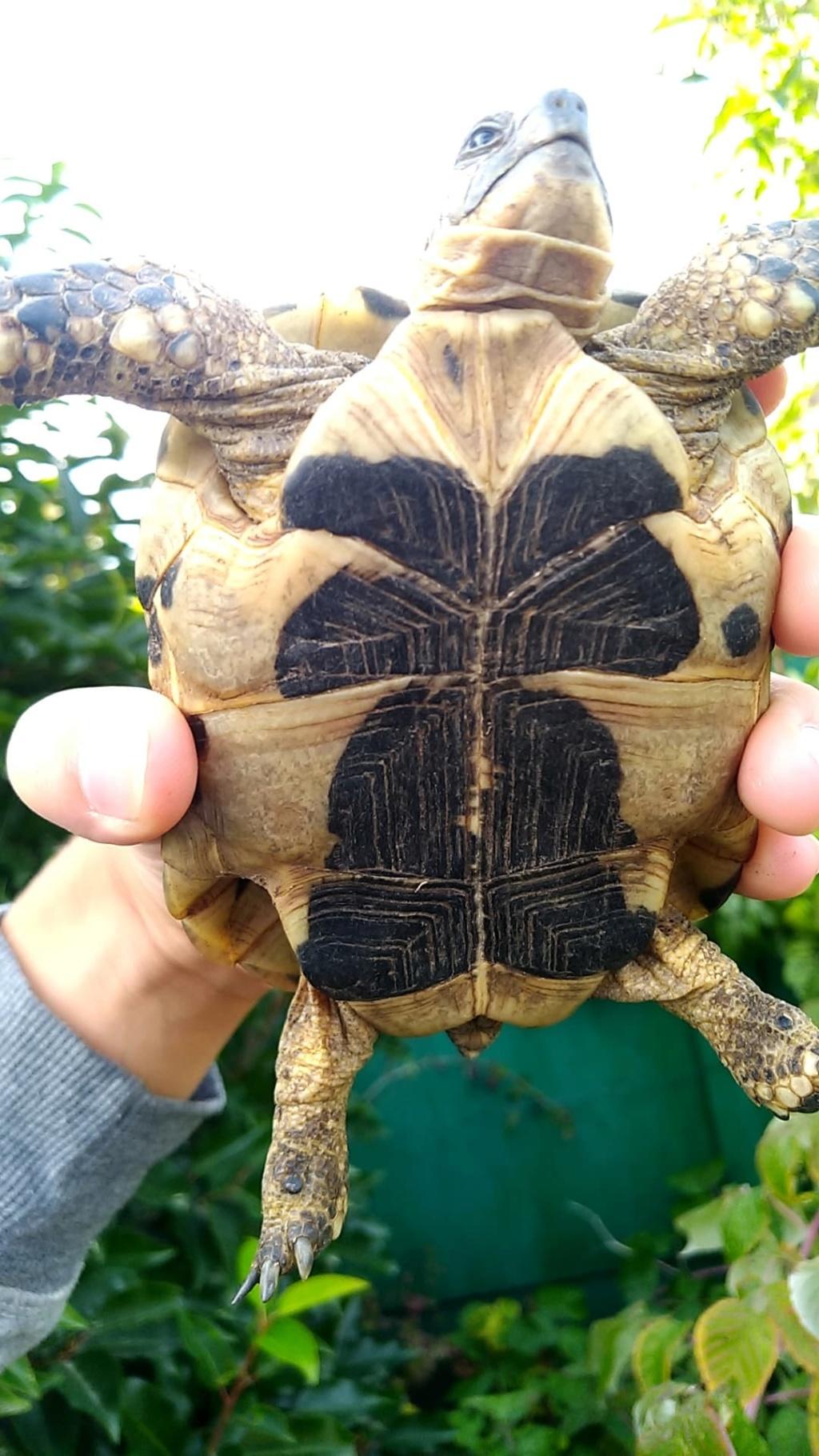 Identification de mes tortues Femell12