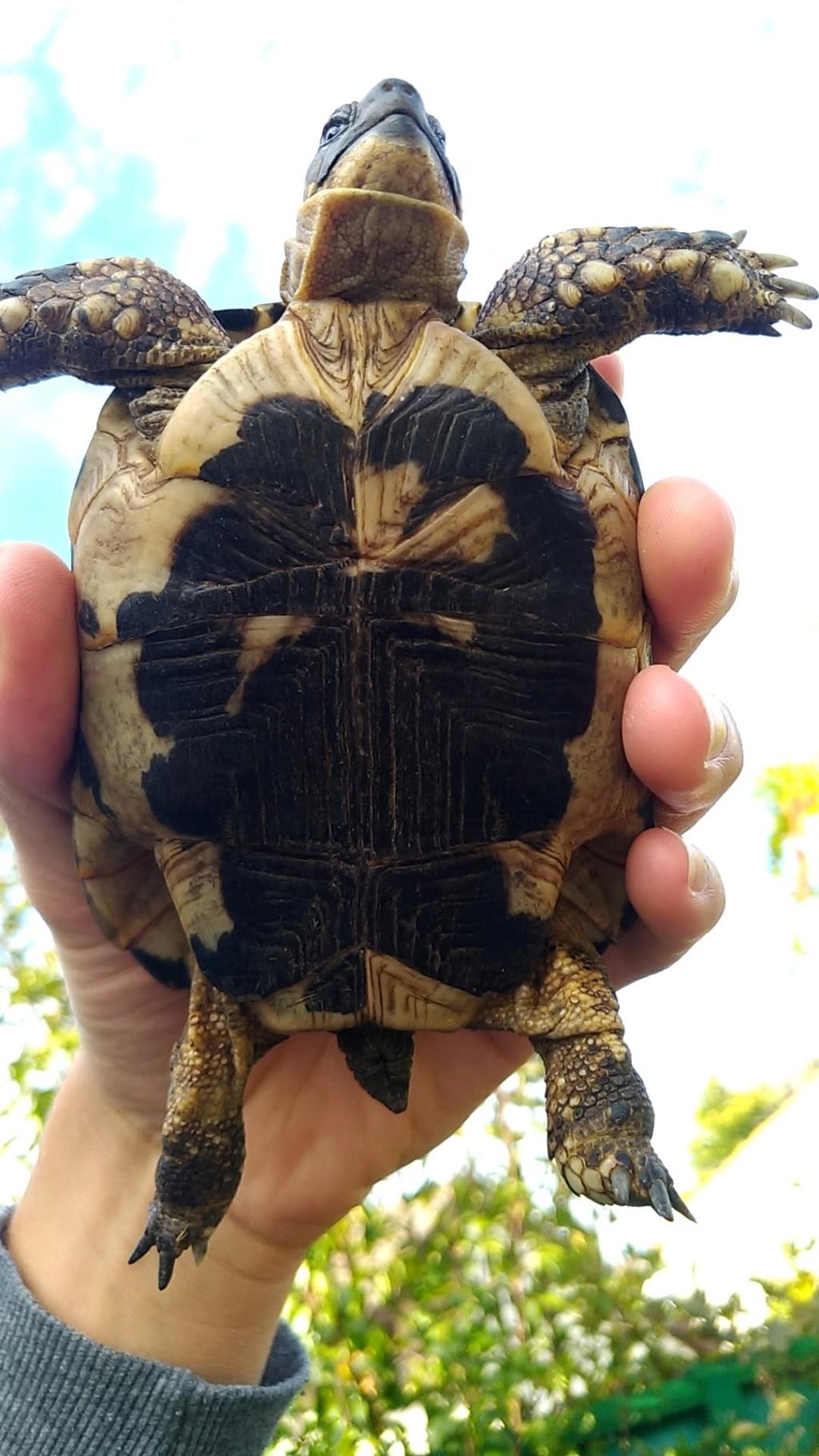 Identification de mes tortues Male_111