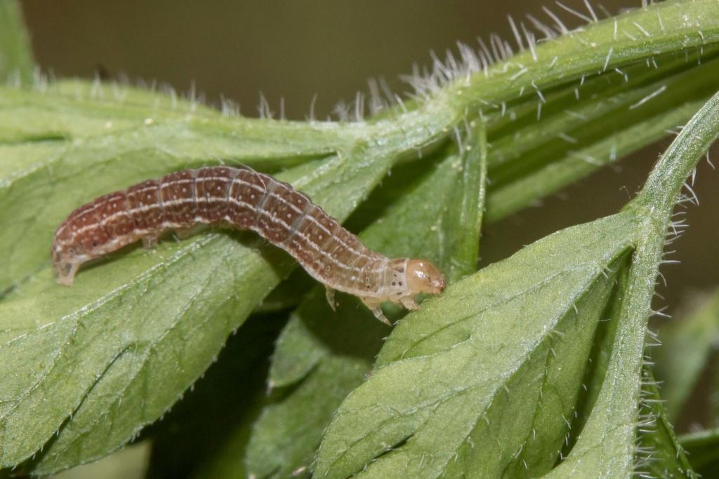 Autre chenille à identifier [Conistra sp.] 18051210