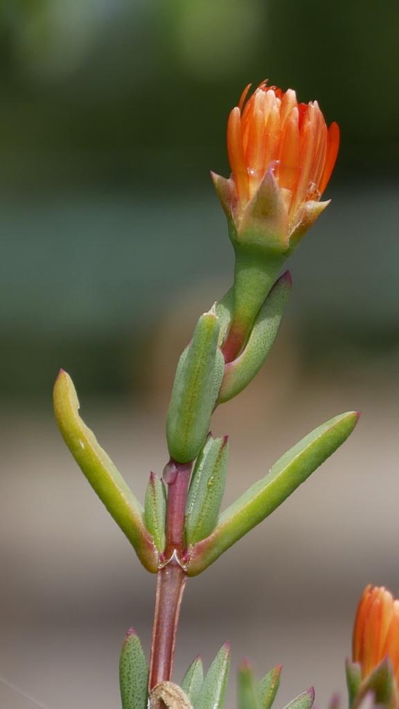 Succulente en attente de soleil Ficoid11