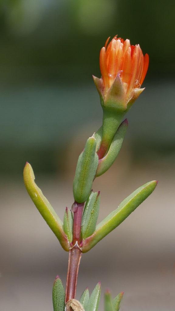 Succulente en attente de soleil Ficoid12