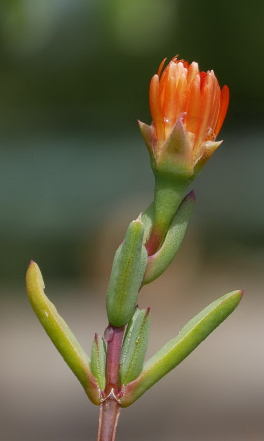 Succulente en attente de soleil Ficoid13