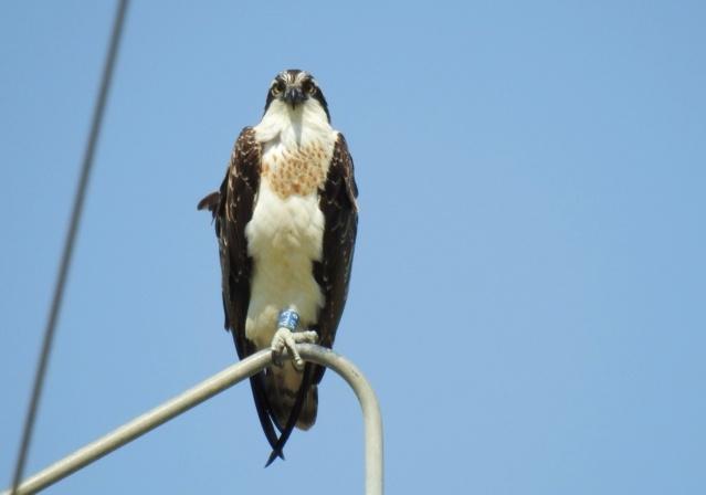 Águia pesqueira, Lezíria Zaguia15