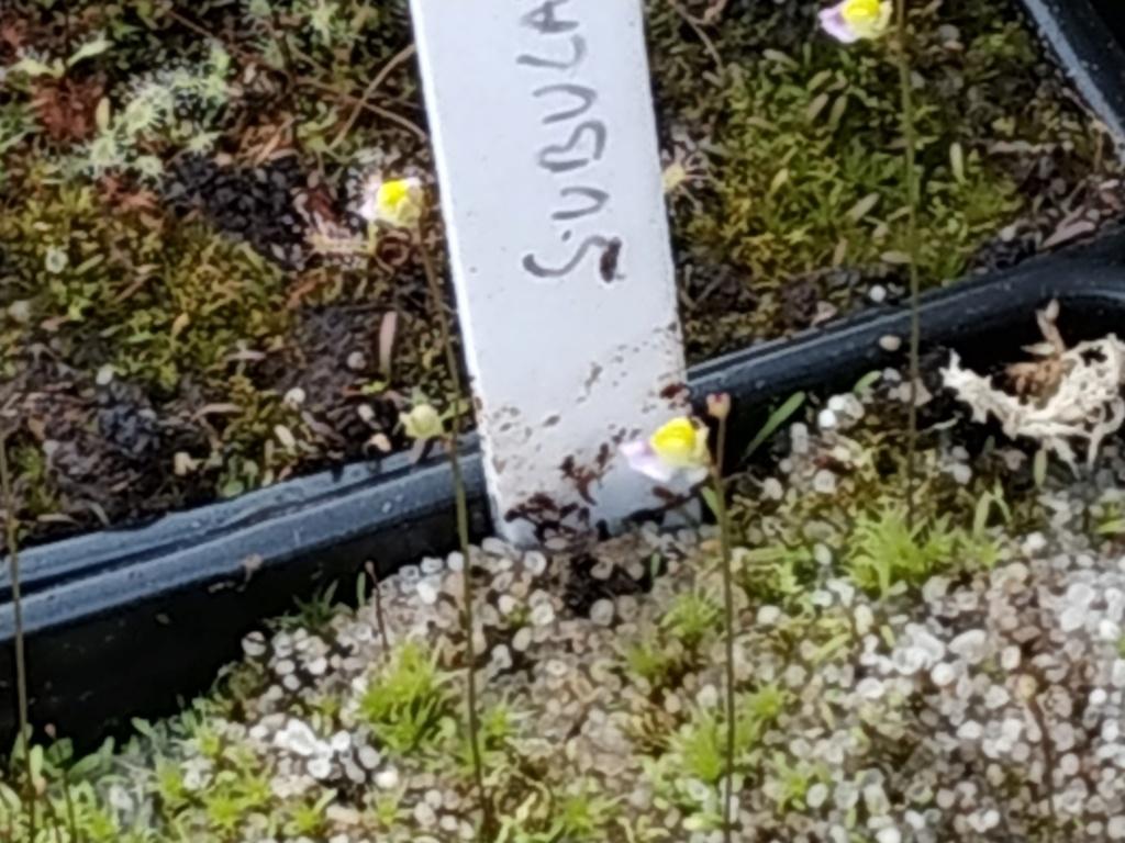 Utricularia subulata : identification Img_2012