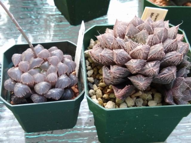 Cactus et succulentes chez Sougriwa (2021) - Page 4 Img_1413