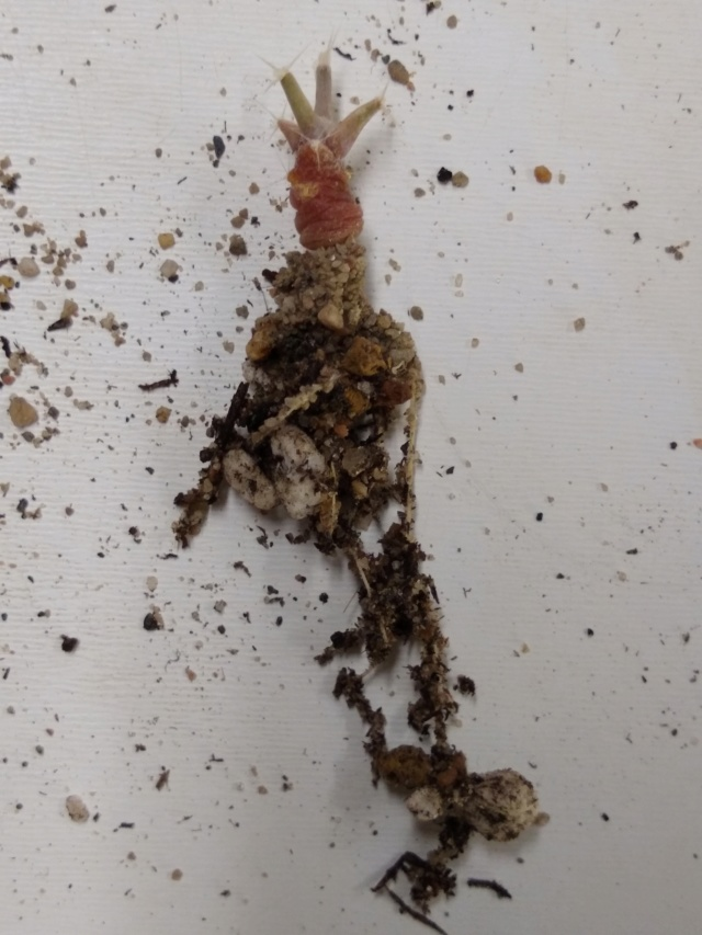 Semis de Leuchtenbergia (cactus) Img_2122
