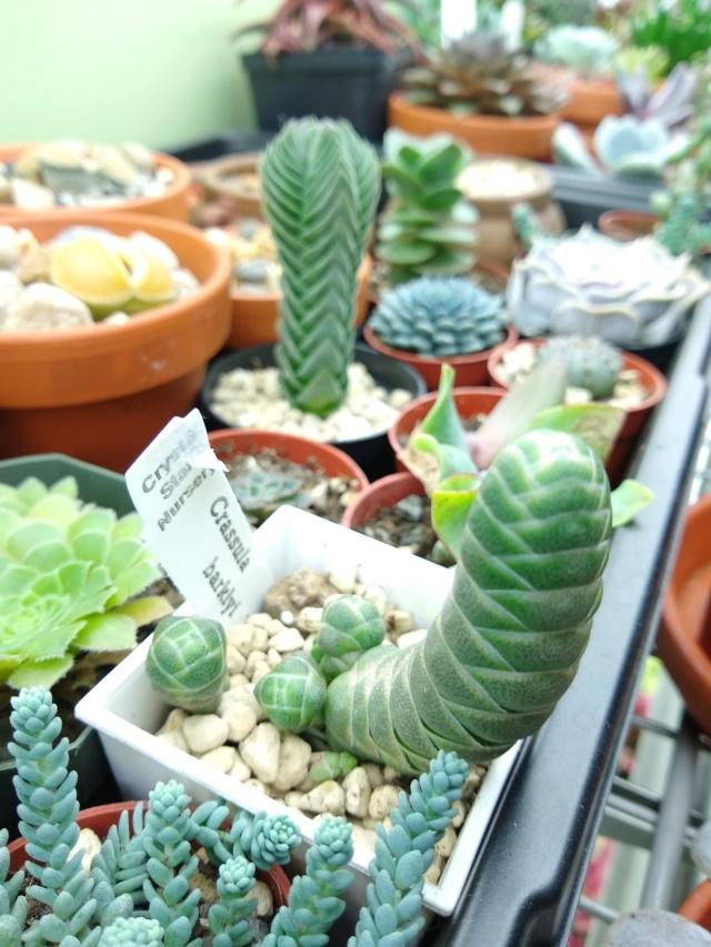 Cactus et succulentes chez Sougriwa (2020) Img_2132