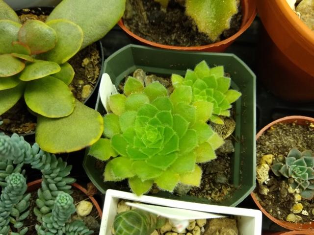 Cactus et succulentes chez Sougriwa (2020) Img_2136