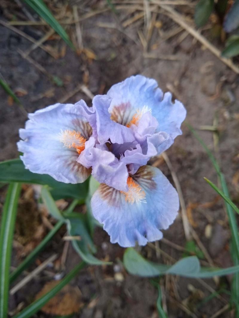 Les petits iris des commandes passées Img_2293