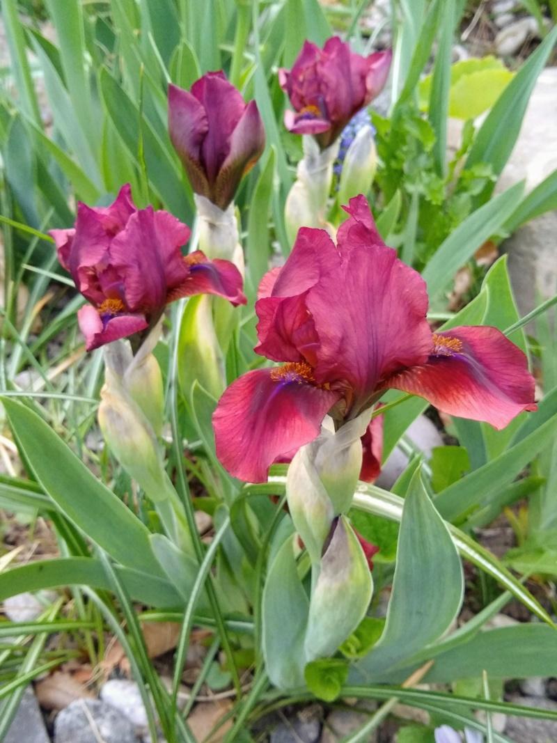 Les petits iris des commandes passées Img_2296