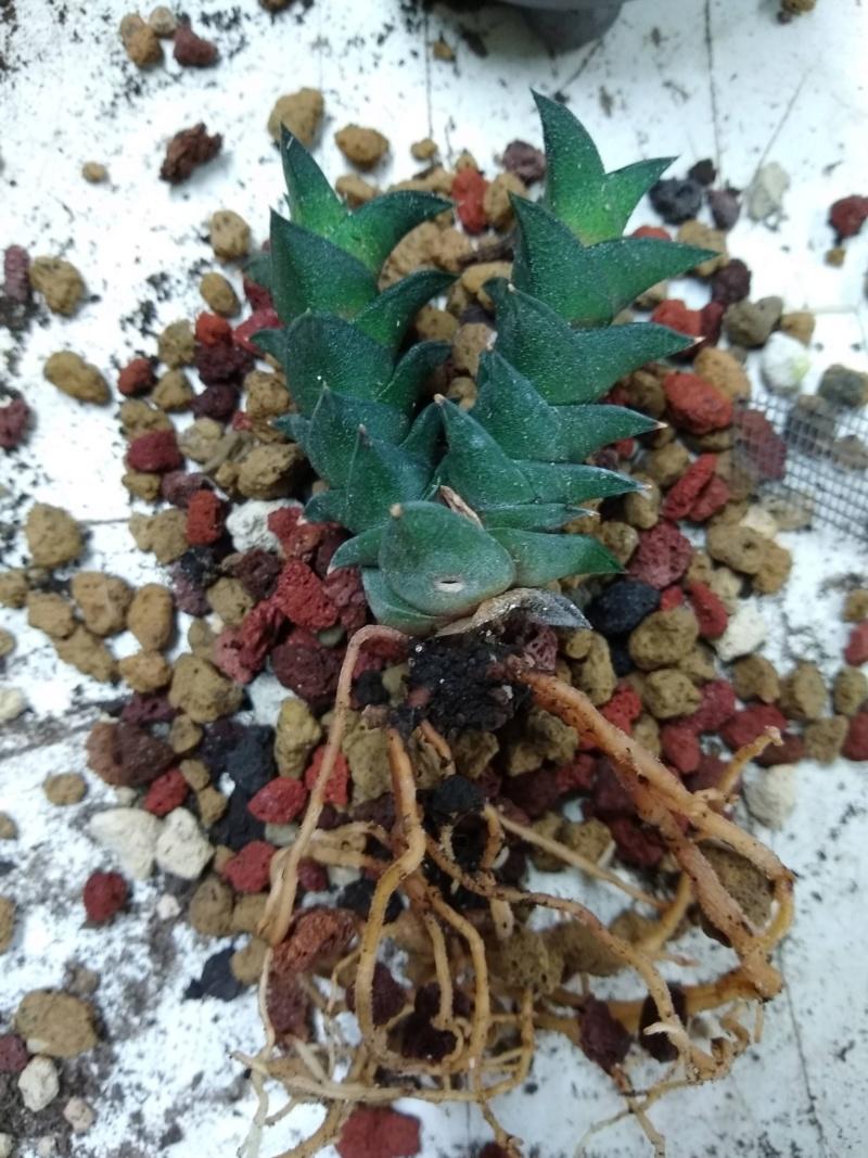 Cactus et succulentes chez Sougriwa (2020) - Page 4 Img_2533