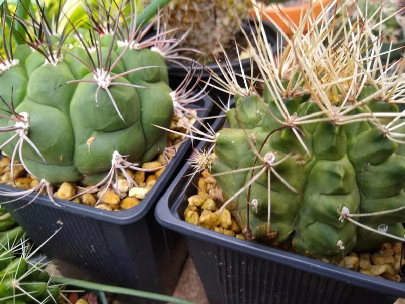 Cactus et succulentes chez Sougriwa (2020) - Page 4 Img_2534