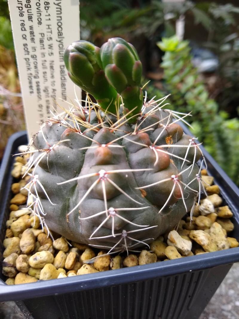Cactus et succulentes chez Sougriwa (2020) - Page 4 Img_2535