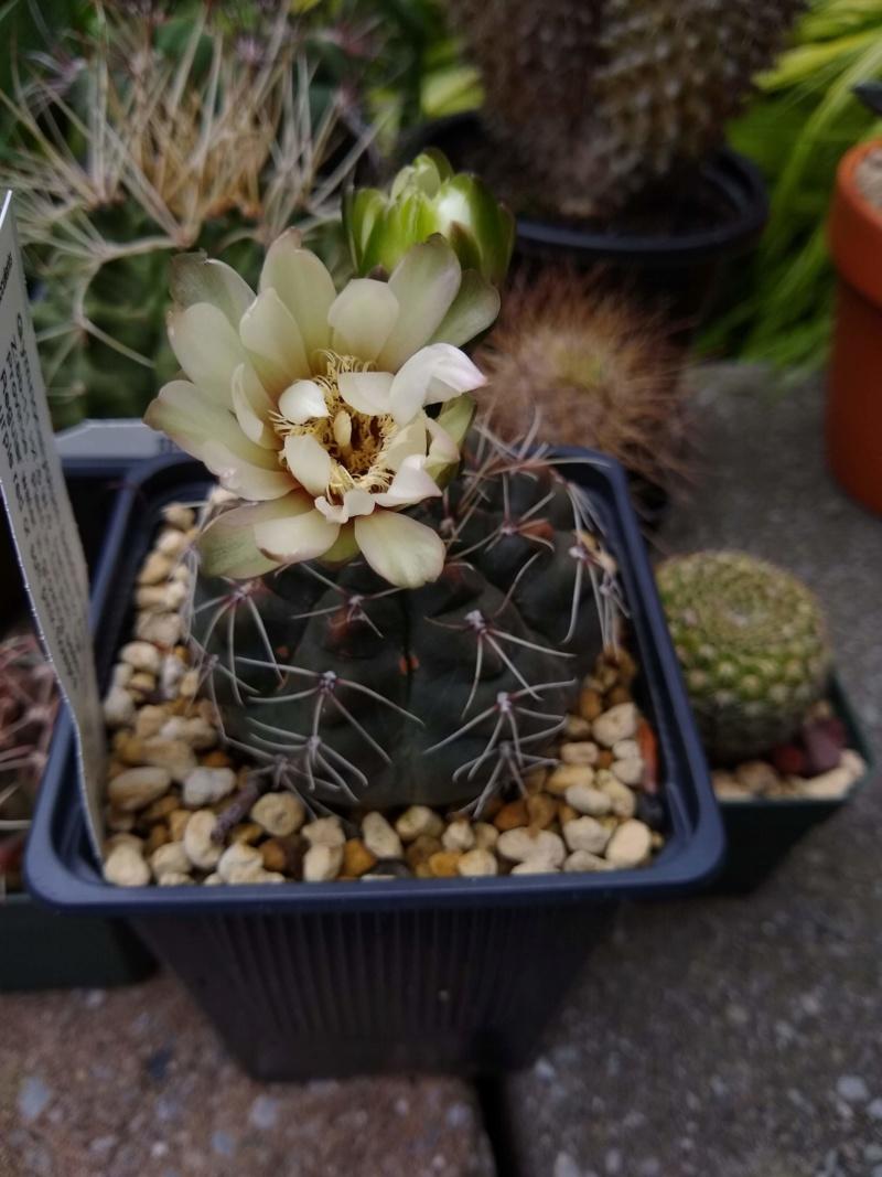 Cactus et succulentes chez Sougriwa (2020) - Page 4 Img_2550