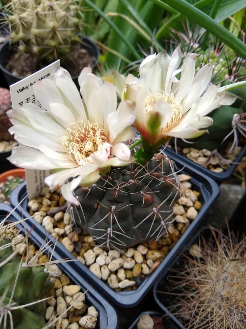 Cactus et succulentes chez Sougriwa (2020) - Page 4 Img_2564