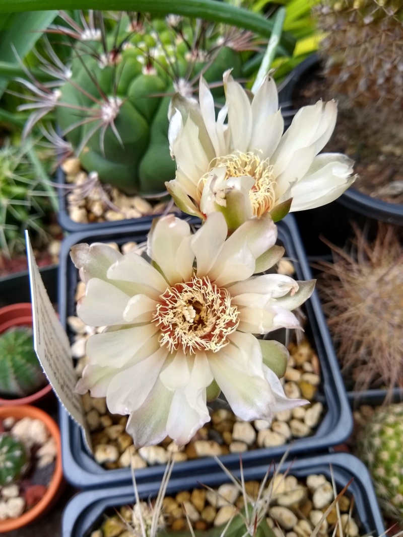 Cactus et succulentes chez Sougriwa (2020) - Page 4 Img_2565